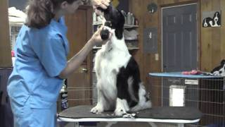 English Springer Spaniel Grooming Part 1