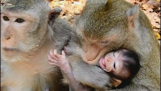 Strange Story ! Very bad Cruella monkey try hug baby Chikis from mom Connie,Baby cry loudly