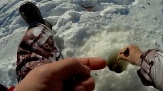 Ловля окуня и плотвы в марте со льда
