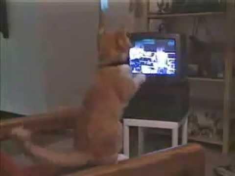 Τι συμβαίνει όταν μια γάτα βλέπει μποξ στην τηλεόραση...