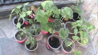 #Кімнатнірослини#Пеларгонії#Плющ#Фуксії#Колумнеї#Белопероне#Кімнатні рослини Мої новиночки
