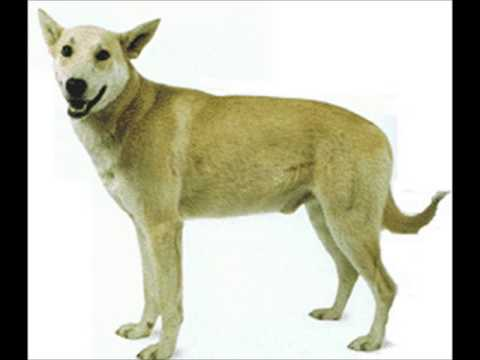 Carolina Dog ~ Puppies For Sale, By Pets4You.com