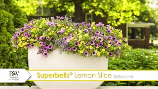 Superbells Lemon Slice Calibrachoa-- A P Allen Smith Favorite!