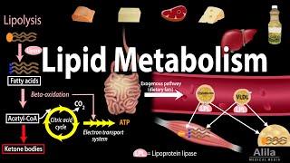 Lipid Metabolism Overview, Animation