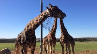 Giraffe Safari, Monarto Zoo, South Australia