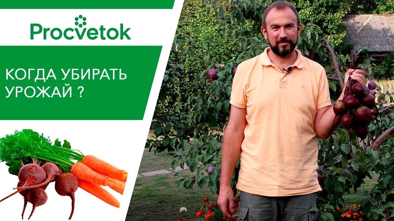 Когда убирать урожай свеклы и моркови?
