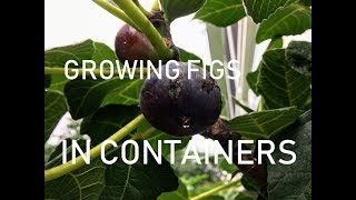 Complete Guide To Growing Fig Trees In CONTAINERS
