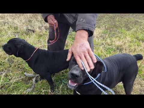 Dog For Adoption Jasmine A Mastiff Cane Corso Mix In Bandera