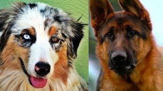 Top 10 razas de perros mas inteligentes del mundo