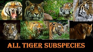Tiger Subspecies - All Tiger Subspecies Of The World