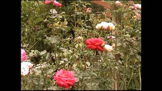 preview picture of video 'Malaysia - Cameron Highlands - Rose Valley'
