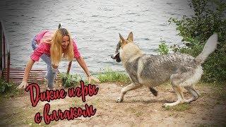 Дикие игры с влчаком на природе