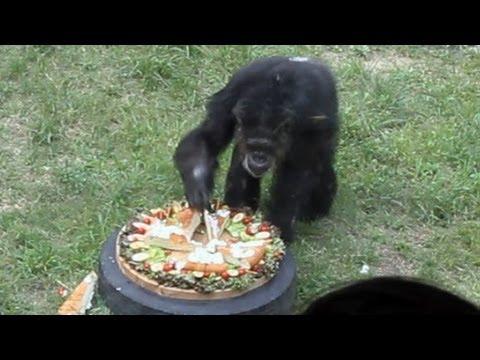 国内最高齢チンパンジーにケーキ