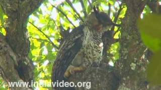 Forest Eagle Owl or Bubo nipalensis