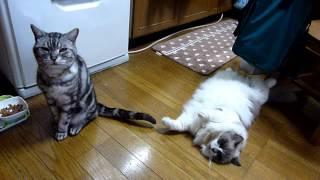 猫缶ちょうだい!目で訴える編    Give Me More Canned Food ・・・
