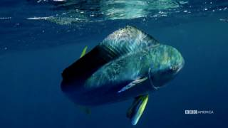 The Hunt - FLYING FISH MAKE LEAPS OF FAITH (EP 4) - Sundays at 9|8c on BBC AMERICA