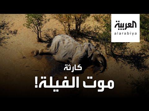 العرب اليوم - شاهد: أسوأ كارثة تحيط بالفيلة في القرن الحالي