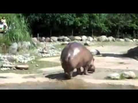 Nilpferd muss furzen