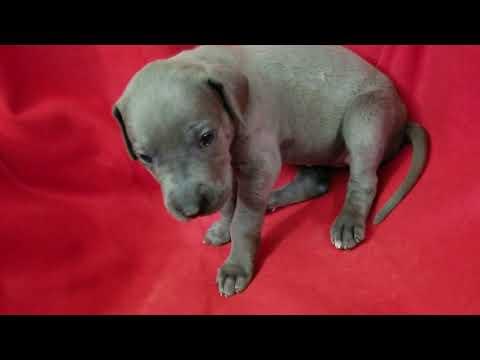 Blue Great Dane Video