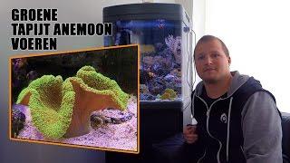 Anemonen voeren in zeeaquarium doe je zo!
