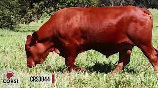 [VENDIDO]Crs torino 0044 fiv- Reprodutor Senepol PO