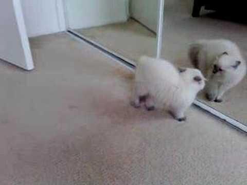 חתלתול קטן מבהיל את עצמו - חמוד וקורע!