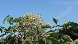 albine la cules flori de evodia -3