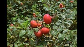 ハマナス浜梨の特徴・剪定・お手入れ~プチトマトのような実をつける木~加須市・久喜市・幸手市の植木屋