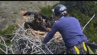 Sauces Channel Islands Eagle Cam ~ Banding Day; Removal Of Eaglets Part One 5.1.18