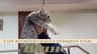 """Клуб экспериментального разведения кошек """"Шанс"""""""