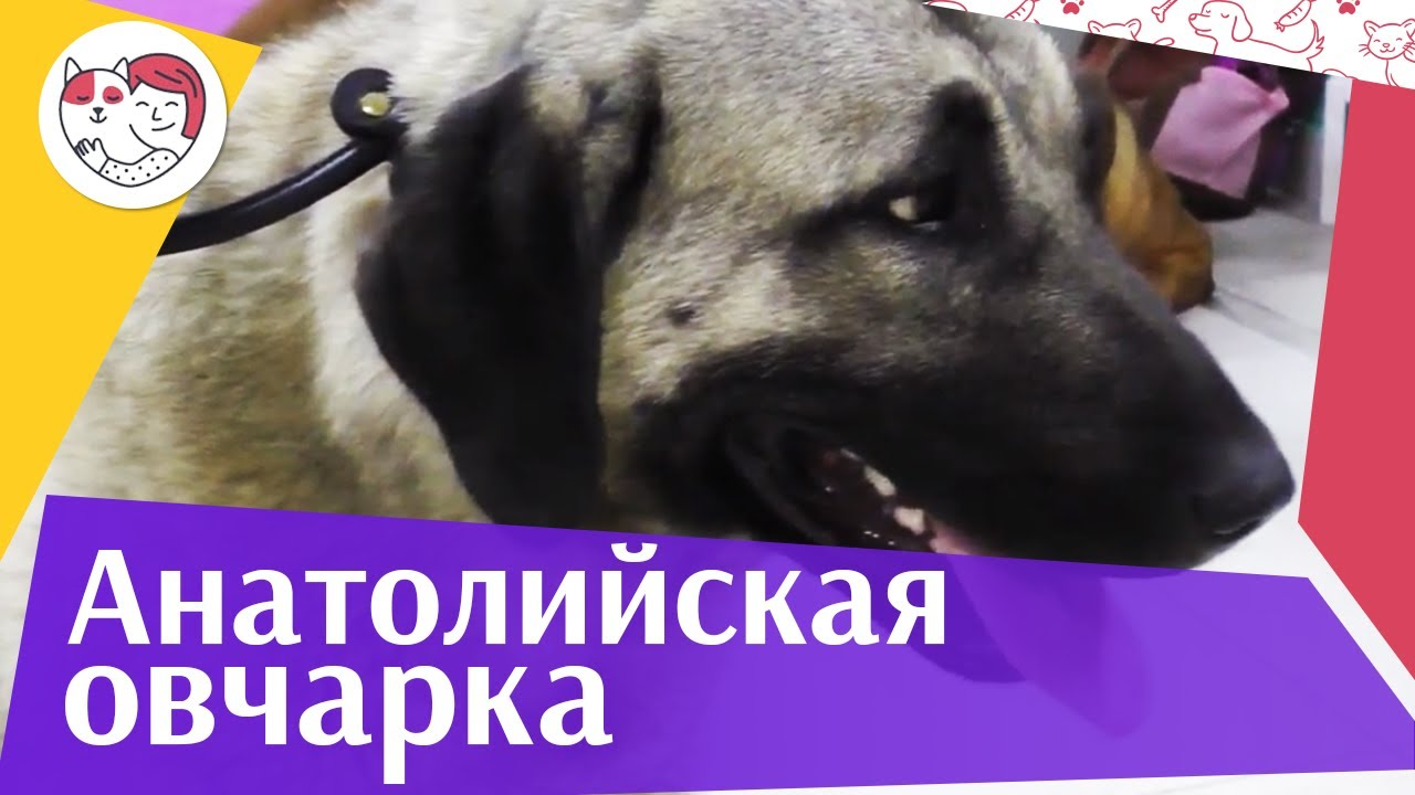 Анатолийская овчарка (Карабаш) на ilikepet. Особенности породы, уход