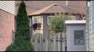 Raccoon Mother Stands Her Ground - Unbelievable Footage!
