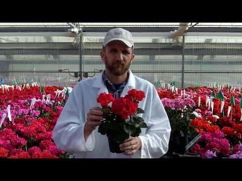 Culture tips for Presto Zonal Geranium thumbnail