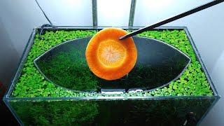 24th Month – (Carrot Feeding Frenzy) NO Filter, NO CO2, NO Ferts 5 Gallon Nano Tank