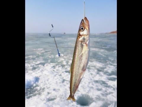 Корюшка. Baltic smelt. मछली गलाना