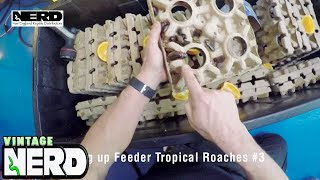 Setting up Feeder Tropical Roaches #3
