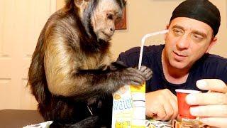 Capuchin Monkey Juice Box!