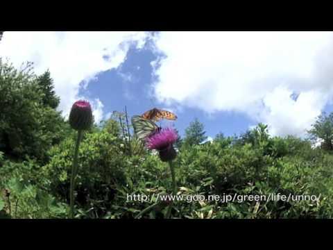 ミヤマシロチョウの飛翔 Aporia hippia