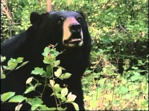 Elokuva: Mustakarhu Benin pako vuoristossa