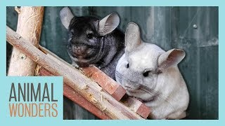 New Chinchillas! Will They All Get Along?