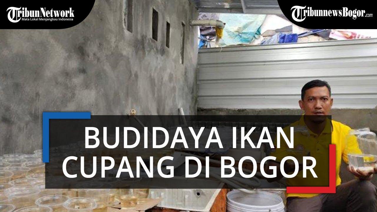 Budidaya Ikan Cupang Avatar Gold Dan Blue Rim Pria Asal Bogor Raup Untung Jutaan Rupiah Tribun Video