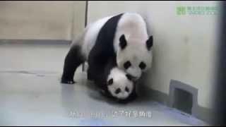 Мама панда укладывает спать сына