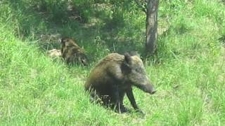 Wild boar family time