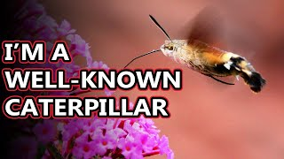 Hummingbird Moth facts: also known as hawk moths | Animal Fact Files
