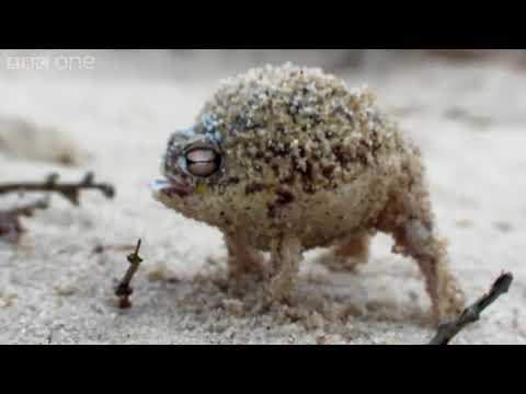 斗內用 梗蛙
