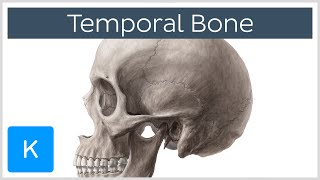 Temporal Bone - Definition, Location & Parts - Human Anatomy | Kenhub