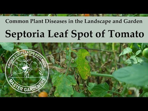 , title : 'Septoria Leaf Spot on Tomato - Common Plant Diseases in the Landscape and Garden'