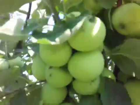 Яблоко ( Белый налив)