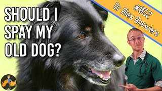 Spaying an Older Dog - is it Safe and are there Benefits? - Dog Health Vet Advice