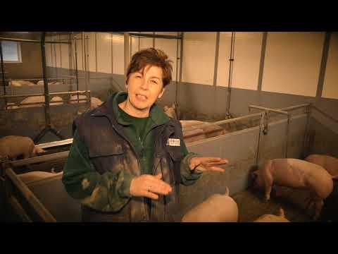Schweinehaltung konventionell - Kontrollgang